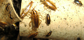 Hoe kakkerlakken in het appartement te doden en aan wie ongediertebestrijding moet worden toevertrouwd
