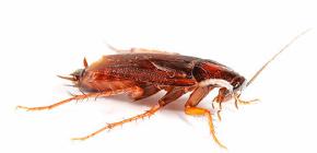 Beter om kakkerlakken in het appartement te vergiftigen?