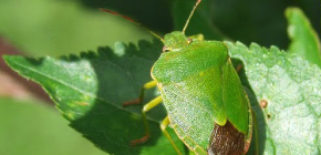 Wood bug (shivnik)