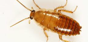 Hoe omgaan met een appartement met kakkerlakken?