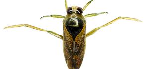Over de waterbug van de gladde en de reusachtige belostomu