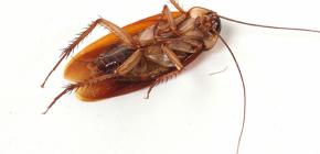Thuis kakkerlakken invallen