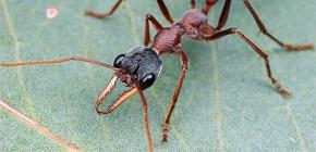 Over Bulldog Ants