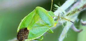 Wie zijn de stinkende insecten en waarom ruiken ze?