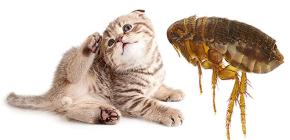 Cat Fleas: hoe ze eruitzien en gevaarlijk zijn voor de mens