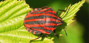 Uiterlijk en kenmerken van het leven van de Italiaanse bug