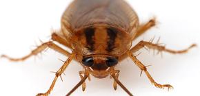 Foto's van verschillende kakkerlakken