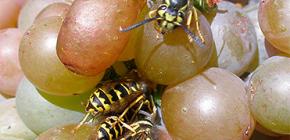Hoe de druivenoogst van wespen te beschermen en te beschermen voor de gehele rijpingstijd