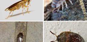 De soorten insecten die in het appartement kunnen leven, en hun foto's