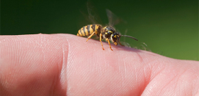 Wespengif: is het goed voor het menselijk lichaam en hoe werkt het