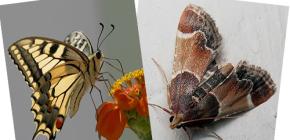 Waarom heeft de mot geen slurf - is het geen vlinder?