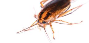 Effectieve remedie voor kakkerlakken Global (Globol)