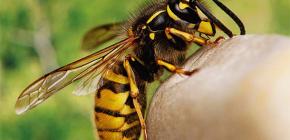 Zijn de beten van wespen nuttig of, in tegendeel, schadelijk voor de menselijke gezondheid?