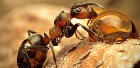 Foto's van verschillende soorten mieren en interessante kenmerken van hun leven
