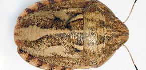 Insecten schadelijke schildpad (Eurygaster integriceps)