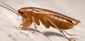 Hoe en waar verschijnen kakkerlakken in het appartement