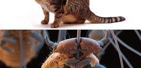Hebben katten luizen en hoe ze kleine parasieten uit huisdierenhaar kunnen verwijderen