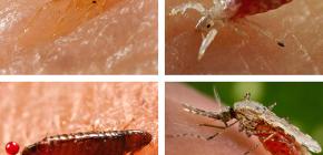 Wat voor soort bloedzuigende insecten zijn te vinden in bed of bank