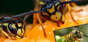 Wat eten wespen gewoonlijk en eten ze vlees?