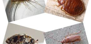 Wat voor soort inheemse insecten kan men vinden in menselijke huisvesting: parasieten en ongedierte